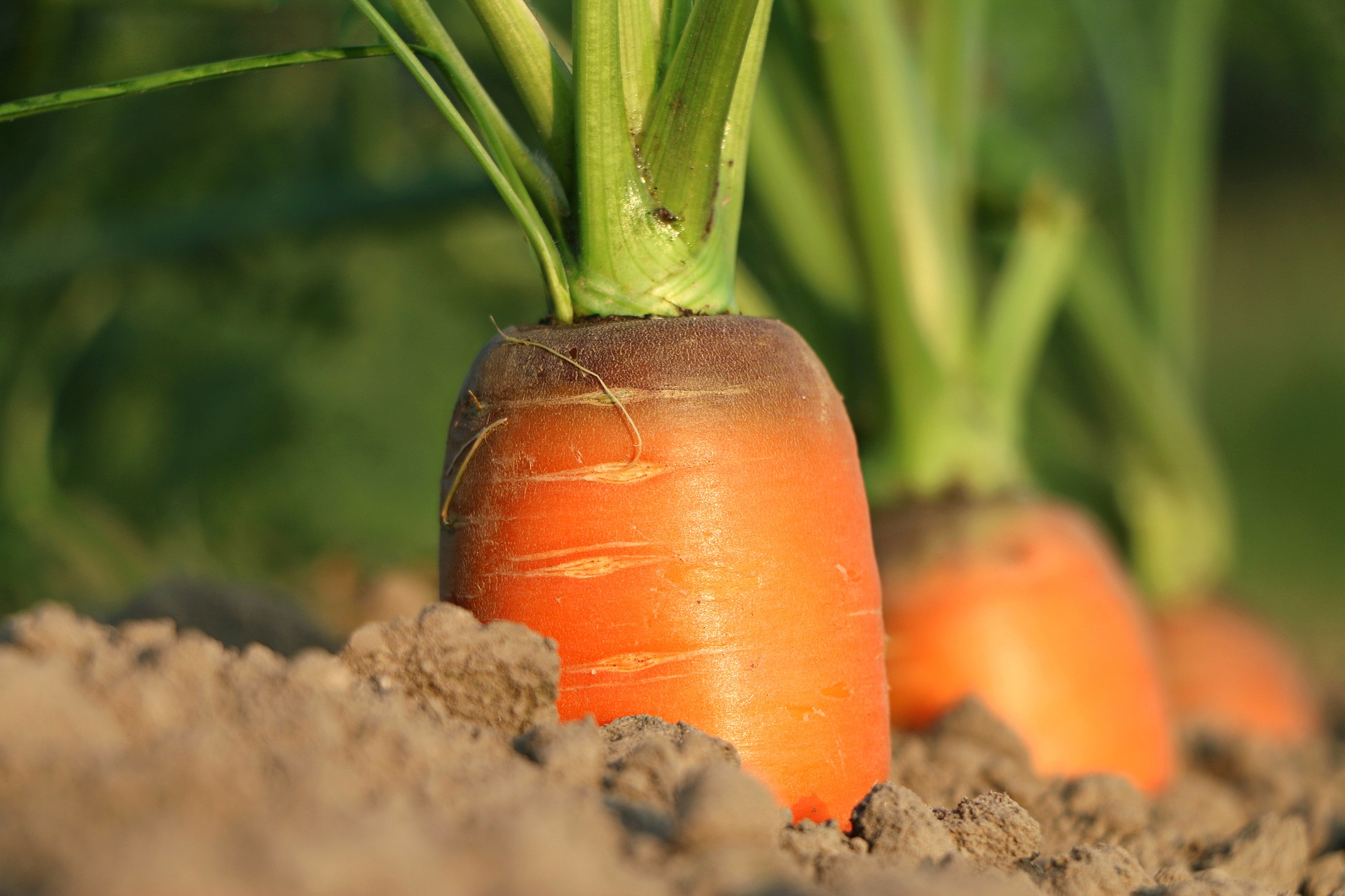 Carrots Growing